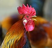 image of fighting-rooster  - Beautiful decorative rooster on the farm in the spring - JPG