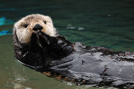 image of cute animal face  - Cute otter greets visitors in traditional asian style with both hands together - JPG