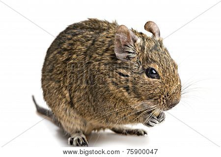 Degu Mouse Closeup Isolated On White