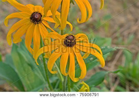 The bending of the black chrysanthemum flower