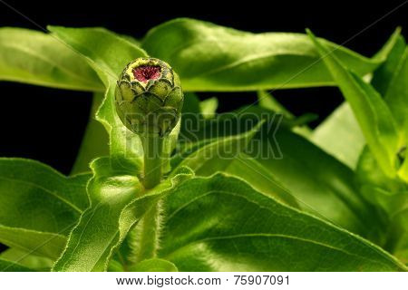 Close up of a closed zinnia flower bud.