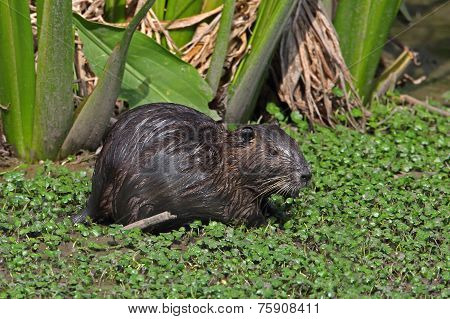 Nutria In A Shallow Pond - Beaumont, Texas