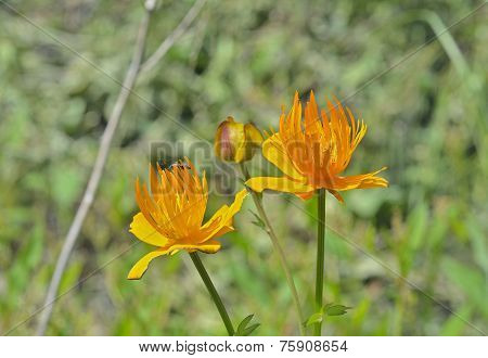 Globe-flower (trollius Chinensis)