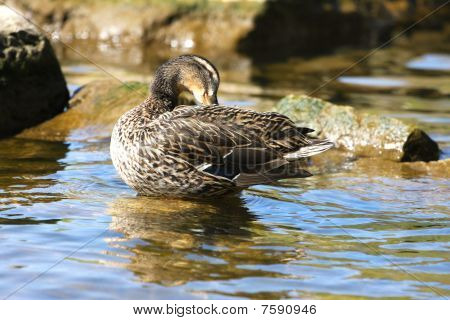 Mallard Duck Female