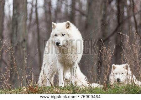 Arctic Wolves