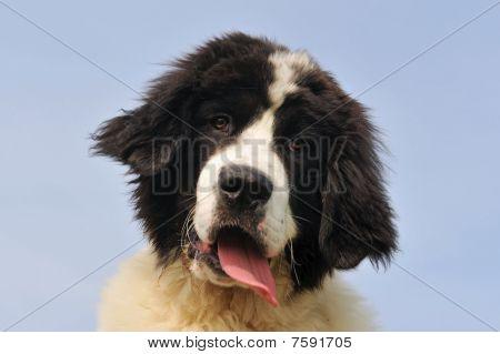 Puppy Landseer