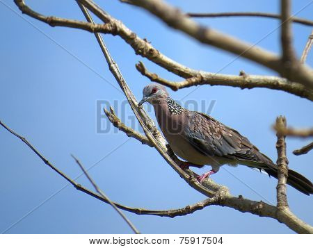 Closeup portrait of perched Spotted Dove with blue sky in the background