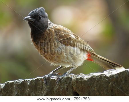 Very closeup portrait of perched Red Vented Bulbul