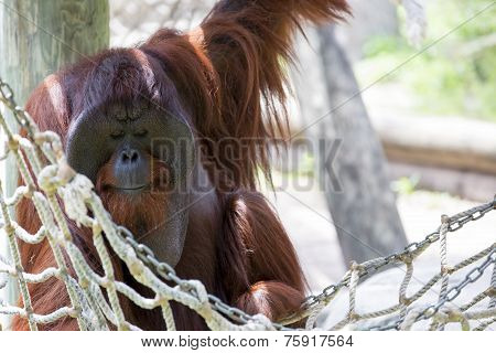 Orangutan chilling out.