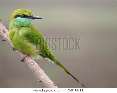 Closeup portrait  of Beautiful Green Bee eater perched on dry twig with evenly blurred background