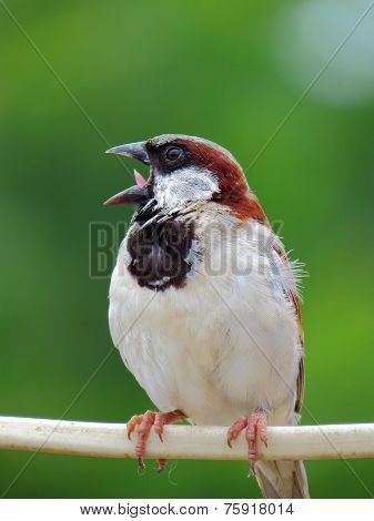 Male House Sparrow perched on Electric Wire with Open Mouth