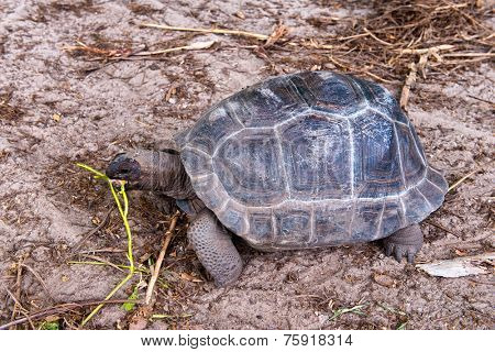 Giant Tortoise feeding on Aldabra, a large coral atoll in the outer Seychelles group uninhabited except for wildlife including two thirds of the worlds Giant Tortoises
