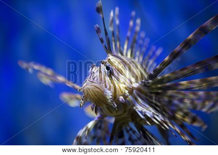 A beautiful lion fish