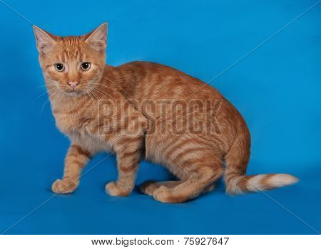 Ginger Kitten Sneaks On Blue