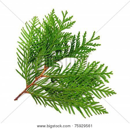 Branch Of Thuja