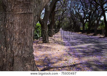 Close-up Of Jacaranda Tree Trunk And Street With Flowers