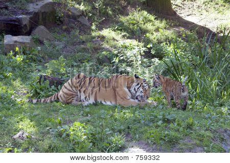 Sibirischer Tiger & cub
