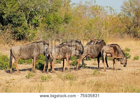 Small herd of blue wildebeest (Connochaetes taurinus) in natural habitat, South Africa