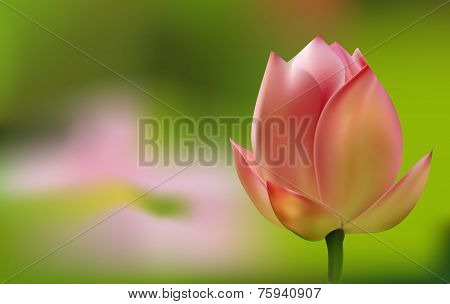 Delicate pink Tulip on green background