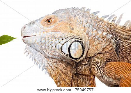 Green Iguana on white