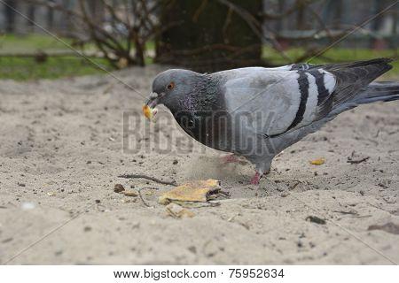 Pigeon Eats Bread.