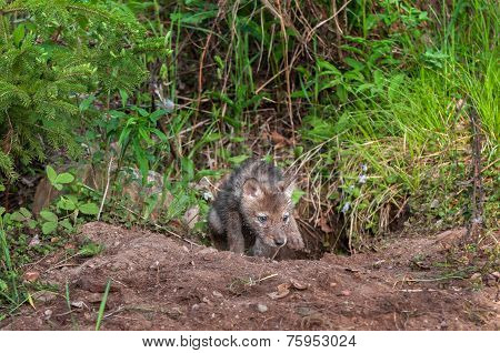 Coyote Pup (canis Latrans) Clambers Out Of Den