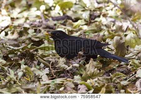 Blackbird Sitting On The Ground Autumn
