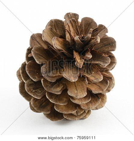 Single Pinecone