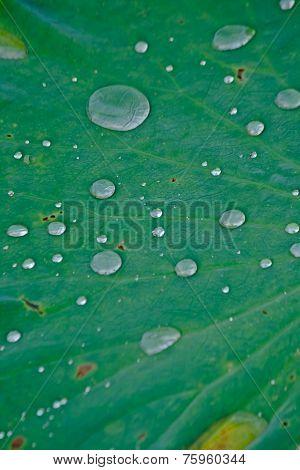 Lotus leaf and dew