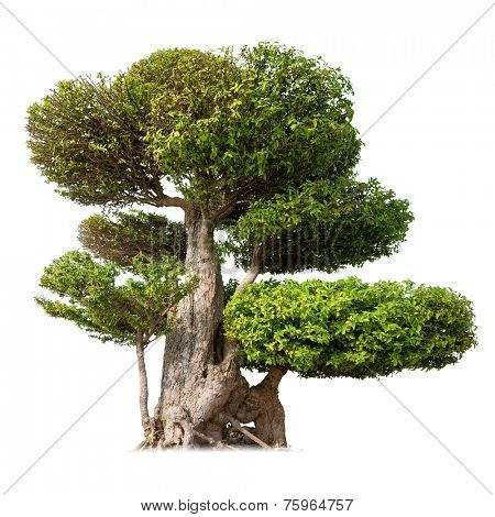 Old big tree with green foliage and textured bark isolated on white background