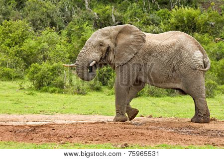 Elephant At A Water Hole