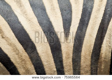 Zebras Skin And Fur