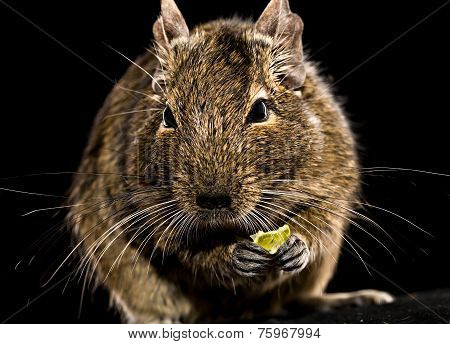 Degu Mouse With Pet Food In Paws