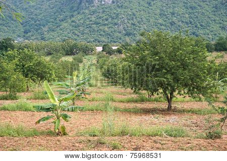 Tamarind Plantation