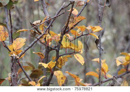 Colorful leaves of Ash or unknown tree in fall