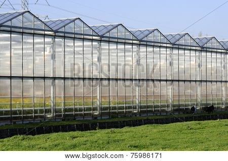 Greenhouse-flowers-goat