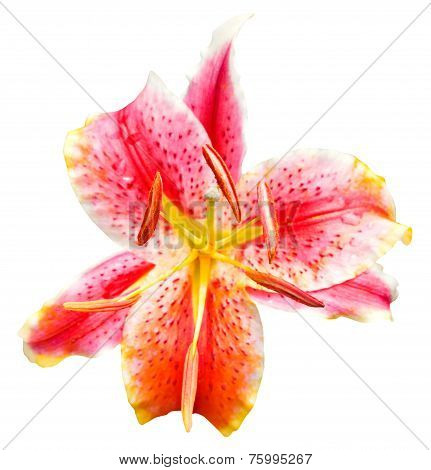 Pink Tiger Lily Flower Isolated