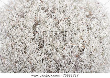 Reindeer Lichen (cladonia Rangiferina). Closeup