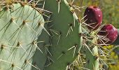 picture of prickly pears  - A close up of the spines and blossoms of a Prickly Pear Cactus - JPG