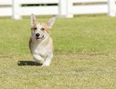picture of corgi  - A young healthy beautiful red sable and white Welsh Corgi Pembroke puppy dog with a docked tail walking on the grass happily. The Welsh Corgi has short legs long body big erect ears and is a herding breed.