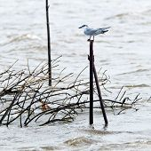 foto of tern  - A tern sitting on a pole in the water Sri Lanka - JPG