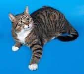 stock photo of blue tabby  - Tabby and white cat lying on blue background - JPG