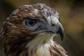 image of hawk  - Close up detailed photograph of a red - JPG