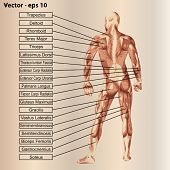 stock photo of oblique  - Vector concept or conceptual 3D male or human anatomy - JPG