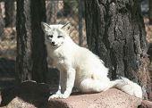 stock photo of arctic fox  - A Close Up Portrait of a Sitting Arctic Fox Alopex lagopus  - JPG