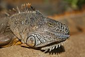 stock photo of gekko  - Green iguana having a rest on sunny day - JPG