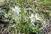 image of edelweiss  - A group of wild edelweiss flower close up with blurry background - JPG