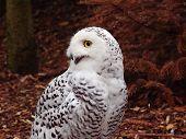 picture of snowy owl  - Snowy Owl  - JPG