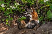 image of snuggle  - Grey Fox Vixen  - JPG