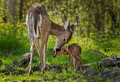 foto of tail  - White-Tailed Deer (Odocoileus virginianus) Licks Her Fawn - captive animal